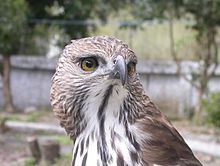 Changeable hawk-eagle1.jpg