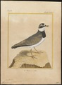 Charadrius hiaticula - 1700-1880 - Print - Iconographia Zoologica - Special Collections University of Amsterdam - UBA01 IZ17200219.tif