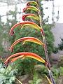 Chasmanthe bicolor2.jpg