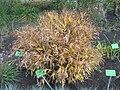 Chasmanthium latifolium 2017-09-26 4334.jpg
