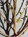 Chenopodium album subsp. album sl7.jpg