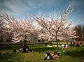 Cherry blossom festival (26392204331).jpg