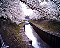Cherry blossom near Zenpukuji river, Tokyo; July 2006 (14).jpg