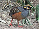 Chestnut-bellied Partridge RWD2.jpg