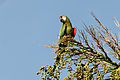 Chestnut-fronted Macaw - Maracaná (Ara severa severa) (15077066924).jpg