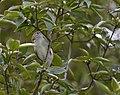 Chestnut-sided Warbler (45036884871).jpg