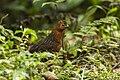 Chestnut wood quail (Odontophorus hyperythrus).jpg