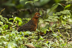 Chestnut wood quail - Image: Chestnut wood quail (Odontophorus hyperythrus)
