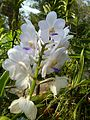 Chiang Mai Orchids P1110351.JPG