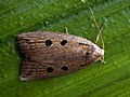 Chilodes maritimus - Silky wainscot - Совка серая камышовая (27246231518).jpg