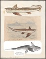 Chimaera monstrosa - 1700-1880 - Print - Iconographia Zoologica - Special Collections University of Amsterdam - UBA01 IZ14100007.tif