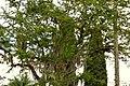 Chiminango (Pithecellobium dulce) (14433534863).jpg