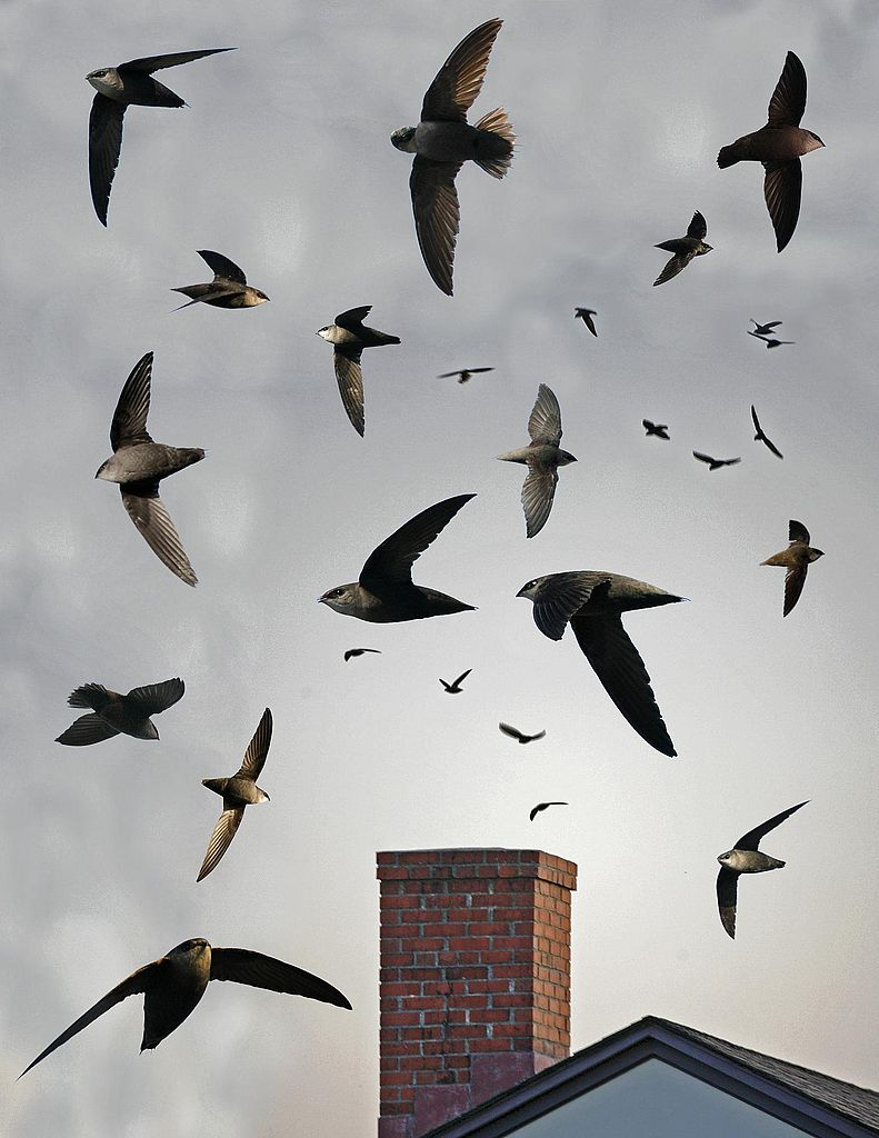 File:Chimney Swift From The Crossley ID Guide Eastern Birds.jpg