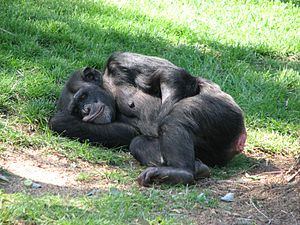 This chimpanzee was enjoying a snooze this sun...