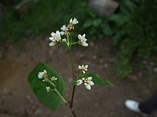 Chinese Knotweed.jpg