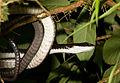 Chironius grandisquamis.jpg