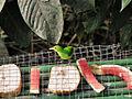 Chlorophanes spiza -Trinidad -female-8 (1).jpg