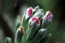 Chloropyron maritimum ssp palustre 2.jpg