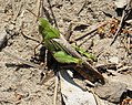 Chortophaga sp. Either C. viridifasciata (Northern Green-striped) or C. australior (Southern Green-striped) Grasshopper (24070577988).jpg