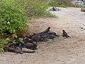 Christmas Iguanas - Marine Iguanas - Espanola - Hood - Galapagos Islands - Ecuador (4870787657).jpg