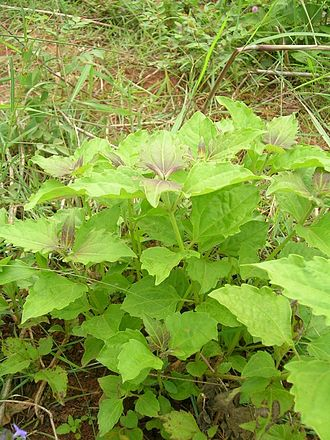 Eupatorieae - Chromolaena odorata - an invasive weed