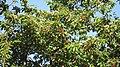 Ciliegio in frutto - panoramio.jpg