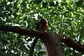 Cinnamomum camphora 2zz.jpg