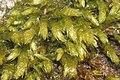 Cirriphyllum crassinervium (a, 143924-475443) 6281.JPG