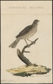 Citrinella miliaria - 1829 - Print - Iconographia Zoologica - Special Collections University of Amsterdam - UBA01 IZ16100251.tif
