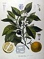 Citrus vulgaris (Köhler).jpg