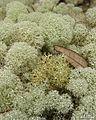 Cladonia subtenuis amid C. evansii - Flickr - pellaea.jpg