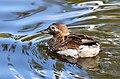 Clangula hyemalis (Long-tailed Duck - Eisente) - Weltvogelpark Walsrode 2012-05.jpg