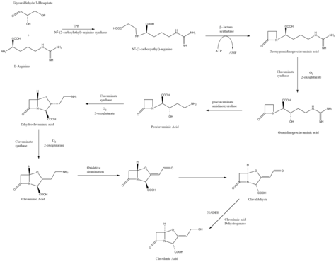 Clavualnic Acid Biosynthesis.png
