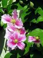 Clematis Piilu3585368338.png