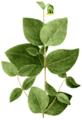 Clematis ochroleuca, Torrey's Flora of NY 1-01.png