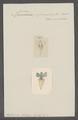 Cleodora pyramidata - - Print - Iconographia Zoologica - Special Collections University of Amsterdam - UBAINV0274 080 07 0003.tif