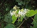 Clerodendrum infortunatum flowers 01.JPG