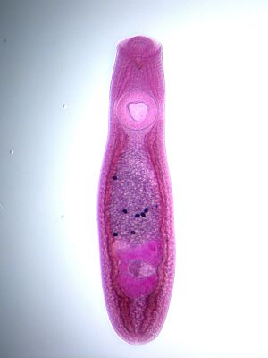 Clinostomum marginatum - Image: Clinostomum cat NZP