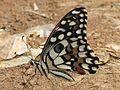 Close wing position of Papilio demoleus Linnaeus, 1758 – Lime Swallowtail WLB IMG 0257.jpg