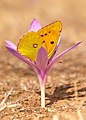 Clouded Yellow (43365836110).jpg