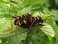 Clytus arietis copula - Hengelo20090519 74.jpg