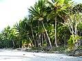 Cocos nucifera at Port Douglas, north Queensland.jpg