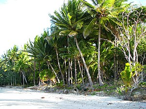 Coconut palms (Cocos nucifera) at Port Douglas...