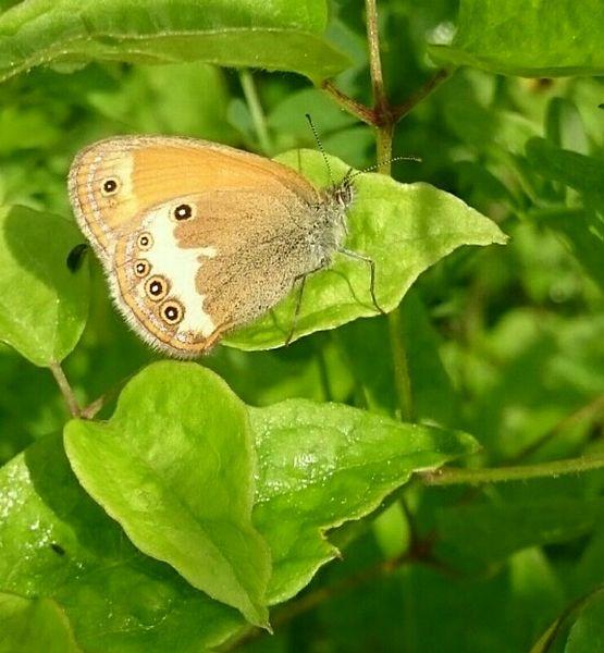 Coenonympha arcania (Nymphalidae) (Pearly Heath), Lorry-Mardigny, France