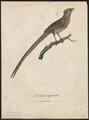 Colius striatus - 1796-1808 - Print - Iconographia Zoologica - Special Collections University of Amsterdam - UBA01 IZ19300017.tif