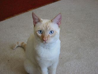 Colorpoint Shorthair - One-year-old Red Point Siamese.