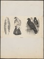Columba livia - 1700-1880 - Print - Iconographia Zoologica - Special Collections University of Amsterdam - UBA01 IZ18900129.tif