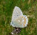 Common Blue. Polyommatus icarus - Flickr - gailhampshire (5).jpg