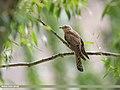 Common Cuckoo (Cuculus canorus) (42901410394).jpg