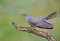 Common Cuckoo by Mike McKenzie.jpg